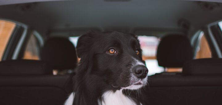 Hund i bilen – Regler for hund i bilen